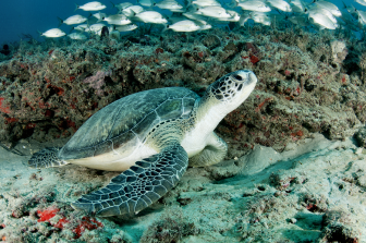 Scuba Diving and Sea Turle off Jupiter Inlet