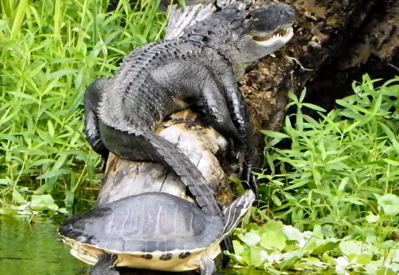 Alligator and Turtle